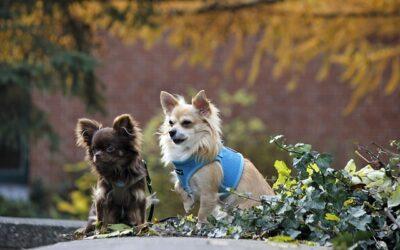 Un c'est bien, mais est-ce que deux (ou trois) chiens c'est mieux?